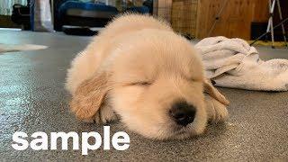 ゴールデン子犬で作ります(ハロキッカの写真も入ります) http://white...