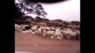 suite campagne vaccination bétail contre la peste a Darou Mousty par le chef du poste veterinaire