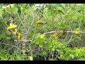 Pikat burung Pleci di alam liar mantap