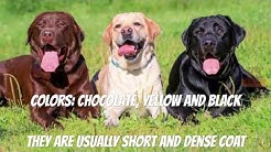 Labrador Retriever - Dog Breed Information, Details, Life, Origin, Wikipedia (Whole Story)