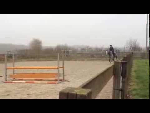 7yo Dutch Jumper Gelding, 16.1h, showing 4' (1.20m)