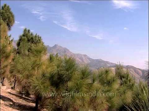 Himalayan Chir pine forest habitat