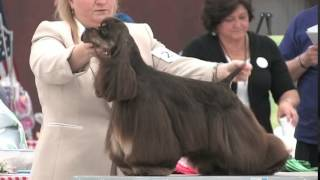 Gch Beachstone's All American Girl At The 2015 Cocker Spaniel National!