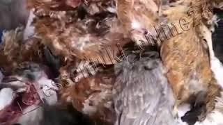 Бродячие собаки растерзали кур. Ессентуки.