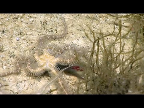 Brittle stars capture squid