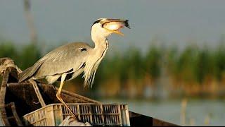 Gri Balıkçıl - Grey Heron | Manyas Kuş Cenneti