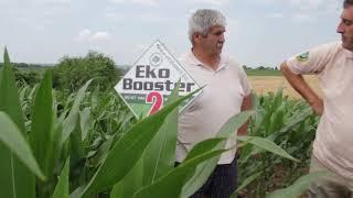 EkoBooster 1 i 2 na kukuruzu , Mitar Lazarov , Cerevic , Poljoprivreda-ratarstvo