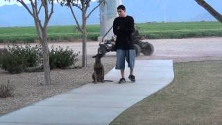 Dog Training Tips Phoenix - Belgian Malinois - Off Leash Obedience - Cherry
