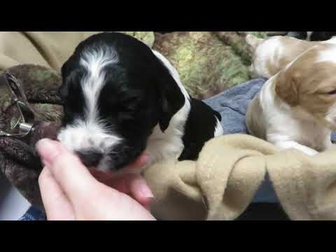 2 week old Brittany puppies