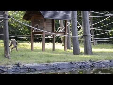 Gibbon runs like human (Awesome!)