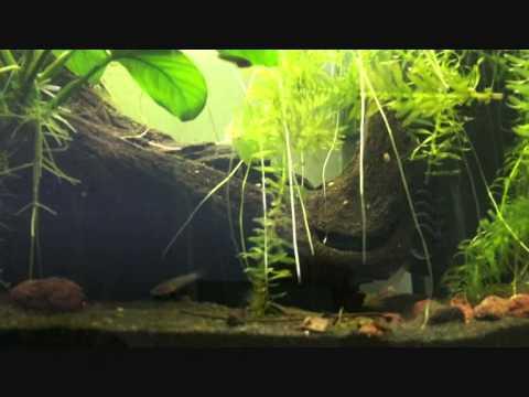 allestimento per betta incubatori orali - youtube - Allestimento Acquario Per Betta Splendens