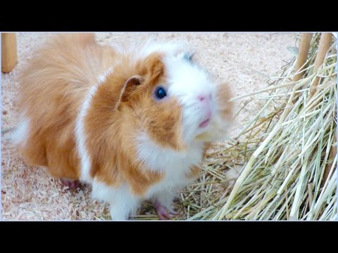 9 Super Interesting Facts About Guinea Pigs