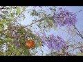 Etnobotànica. Jacaranda mimosifolia. Daniel Climent Giner