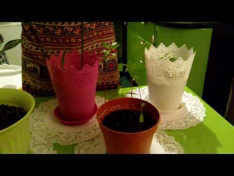 Пальма Хамедорея - уход, пересадка, размножение, проблемы