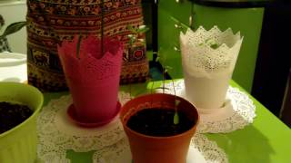 МОИ КОМНАТНЫЕ РАСТЕНИЯ/ Мои домашние цветы/ Что выросло из косточек и семян/  My houseplants - Видео для любителей выращивать дома цветы ))) Я показываю, что вырастила сама из косточек фруктов, а также...