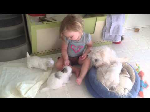 One-Month Old Coton de Tulear Pups and Baby Anna