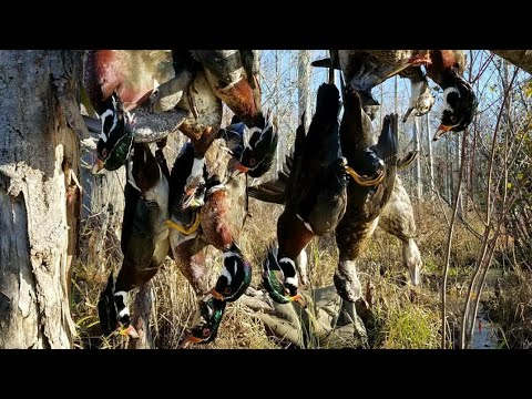 TN Duck Hunting - Full Wood Duck Limits