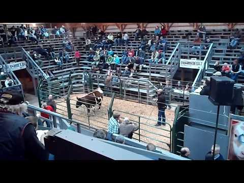 Atlantic Bonus Sale (Cattle Auction), Nappan, NS 10-20-12