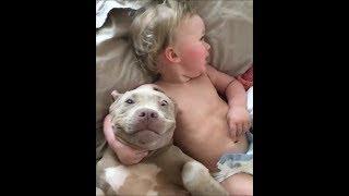 Komik Pitbull Videoları  2017 #1