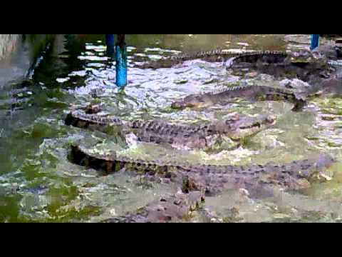 Buaya Teluk Sengat.mp4 Travel Video