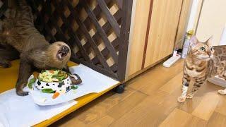 とんでもない体勢でご飯を食べるナマケモノがここにいますよw