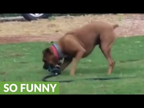 Mischievous dog tries to run off with sprinkler