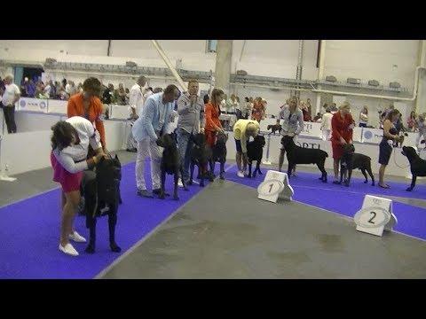 Cane Corso Euro dog show 2017 in Kiev Ukraine 1
