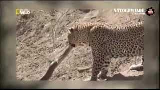 Гигантский питон против леопарда  -   Nat geo wild