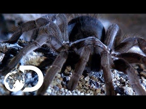 The Tarantulas Of Australia | Ultimate Spiders