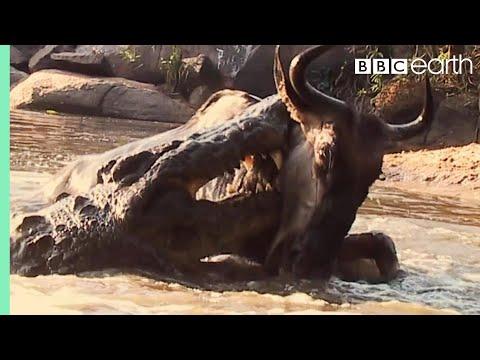 Crocodile Surprise Attacks Wildebeest | BBC Earth