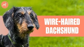 Wirehaired Dachshund: ULTIMATE GUIDE   Is This Type of Doxie The Right For You?