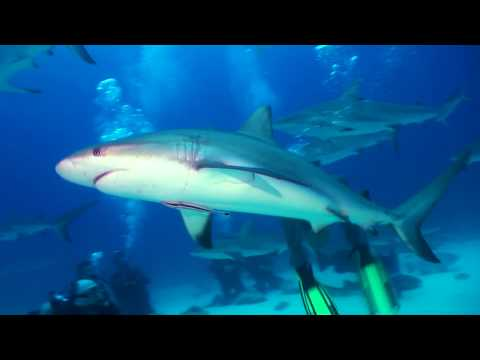 Shark feeding in Nassau