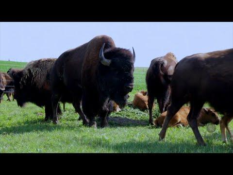 Nebraska Rancher Seeks Markets for Bison