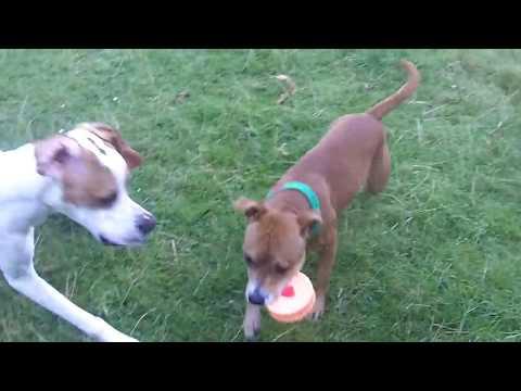Pointer Gizmo & Staffordshire Bull Terrier Roxy.