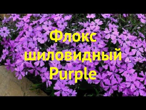 Флокс шиловидный Пурпурный. Краткий обзор, описание характеристик phlox subulata Purple