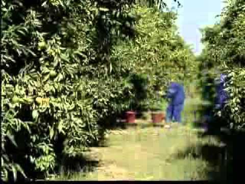 Cueillette des Oranges au Maroc