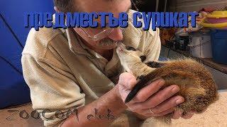 Деловые сурикаты. Пряник и Ярины почесухи. Home meerkats