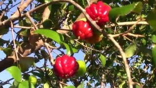 EYBY - Edible Backyard Fruit Harvest in DECEMBER - 4 Types of Fruit Harvested