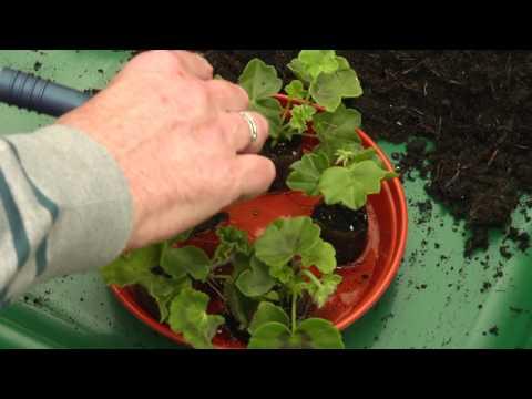 Potting on plug plants