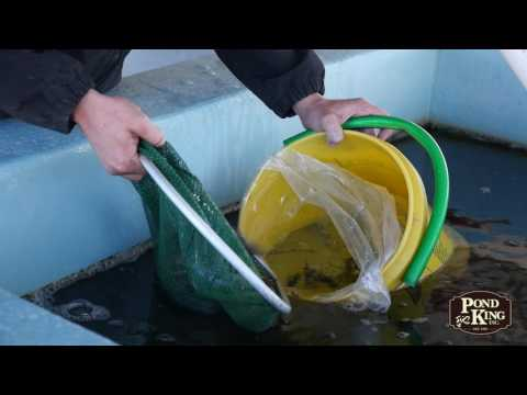 Purchasing Live Fish from Pond King