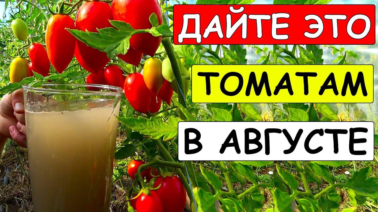 Полей ЭТИМ в августе ТОМАТЫ под корень и урожай будет СУМАСШЕДШИМ, АРОМАТНЫМ и САХАРИСТЫМ!