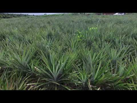 ORAGANIC PINEAPPLE FARMING - TANZANIA
