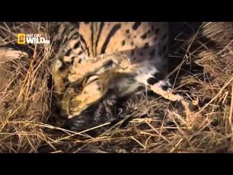 La face cachée des chats   Documentaire national geographic francais