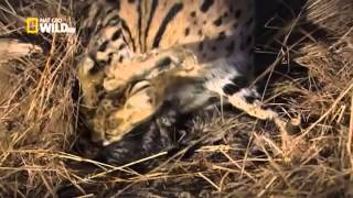 La face cachée des chats   Documentaire national geographic francais