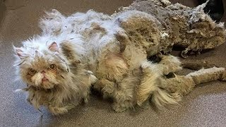 Спасение кота, у которого атрофировались лапки под тяжестью собственной шерсти
