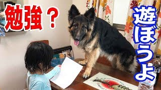 grandchild and German Shepherd dog 休日の早朝、静かに自由勉強中の孫...