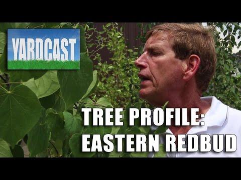 Tree Profile - Eastern Redbud