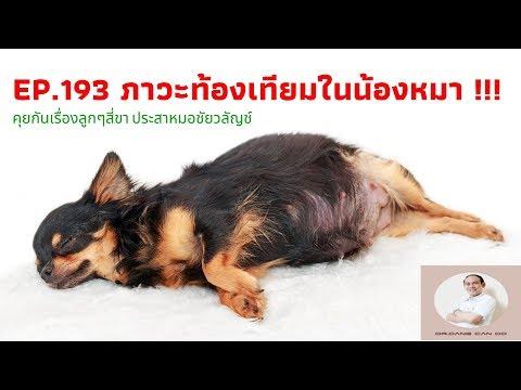 EP.193 ภาวะท้องเทียมในน้องหมา !!! : คุยกันเรื่องลูกๆ สี่ขาประสาหมอชัยวลัญช์