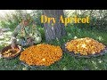 How To Dry Apricot || Gilgit Baltistan
