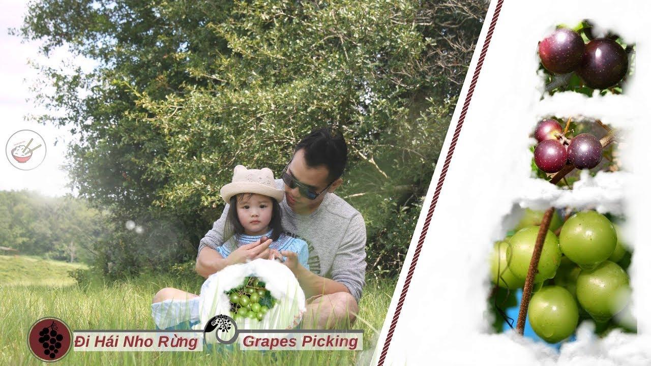 đi-hi-nho-rừng-grapes-picking